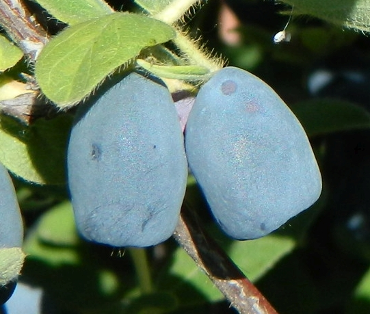Honeyberry, Haskap, and other Cold Hardy Fruit Trees