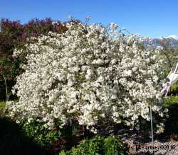 Prunus carmine jewel вишня